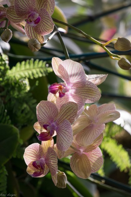 phalaenopsis-ox-lottery-fortune_16512020079_o