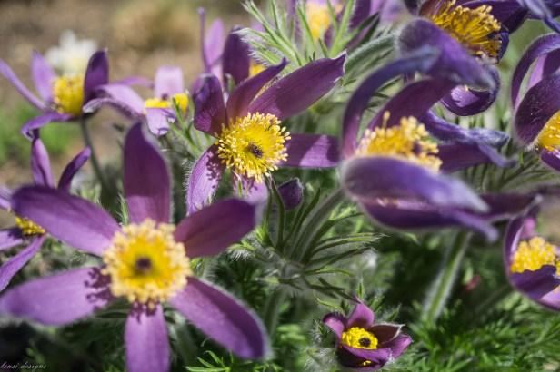 Anemone pulsatilla 'Papageno' Pasque flower