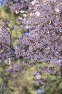 Prunus subhirtella 'Fukubana' Double Pink Higan Cherry