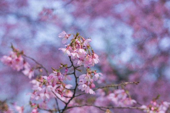 Prunus 'Okame' flowering cherry