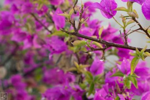 raindrops on bougainvilla