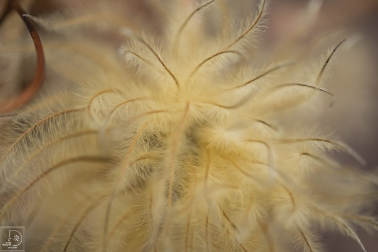 clematis-seed-heads_22847867312_o