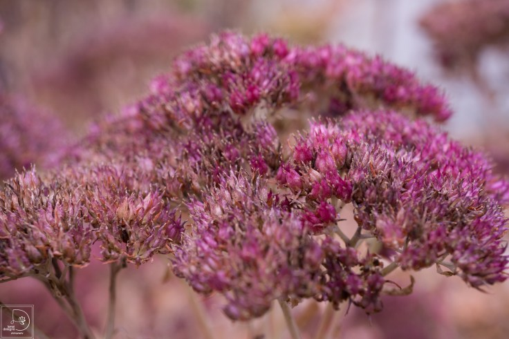 sedum-autumn-fire_22861372235_o