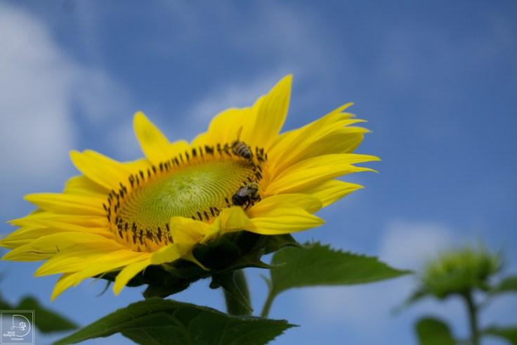sunflowers-13_19239540873_o