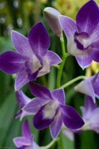orchid-show_16510757920_o