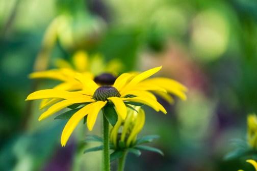 Rudbeckia fulgida 'Deam's coneflower'