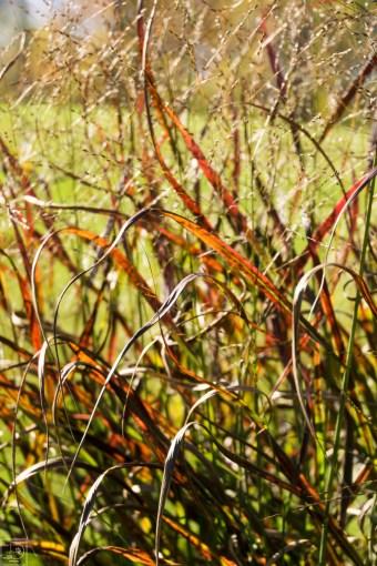 Grasses-12
