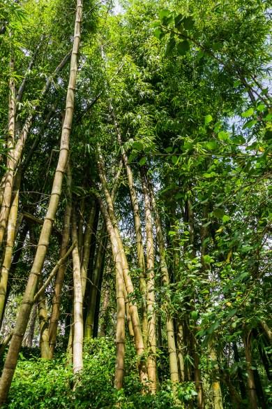 Morikami Bamboo Grove