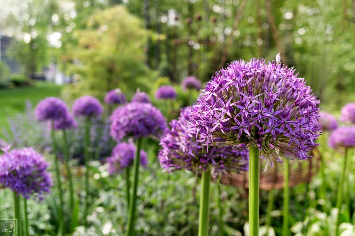 Bulbs Alliums-1