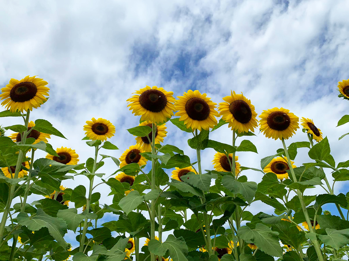 Sunflowers for Mothers produced by R. Michael Brown Marketing Consultant Palm Beach