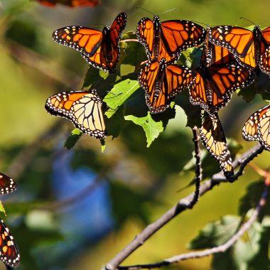 IMG_3112 Butterfliesa