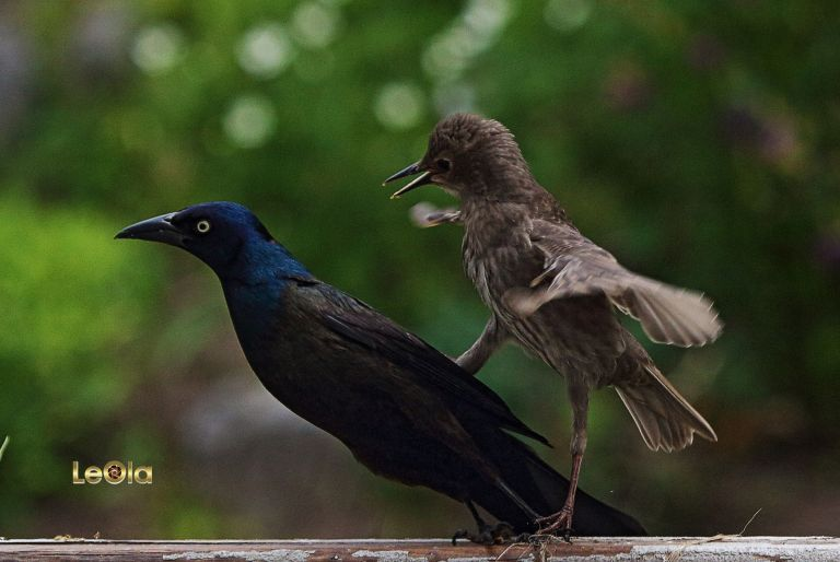 img_6753-young-starling-fights-gracklea-copy