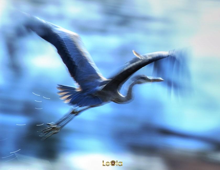 blue-heron