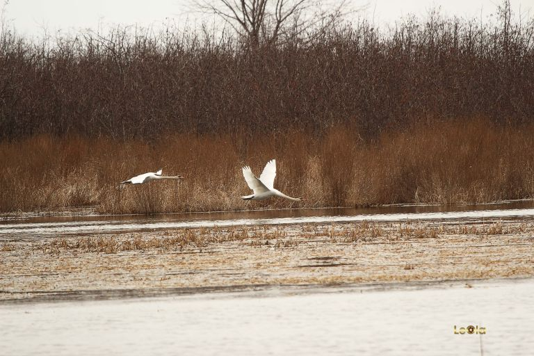 IMG_9187 Swan copy