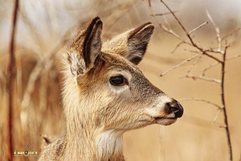 IMG_9361 Deer copy