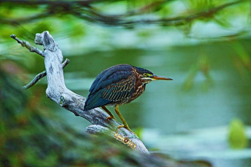 Green Heron 0190 viv copy.jpg