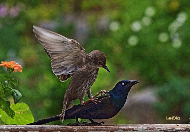 IMG_6750 Baby Grackle fights off Adult Grackle copy
