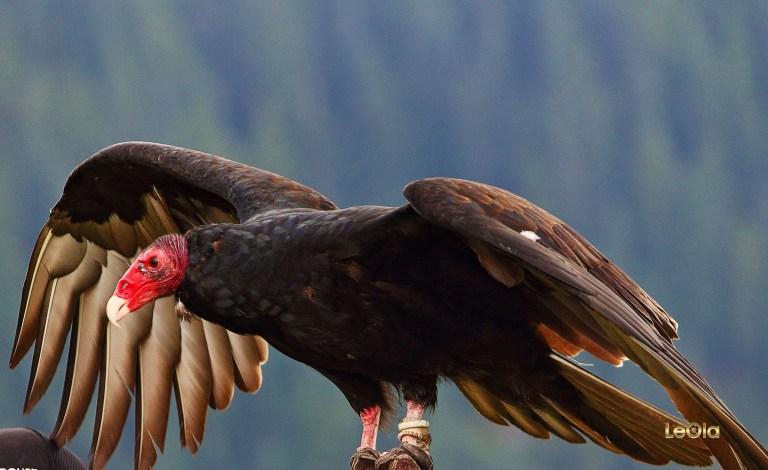 IMG_7474 Turkey Vulturea copy.jpg