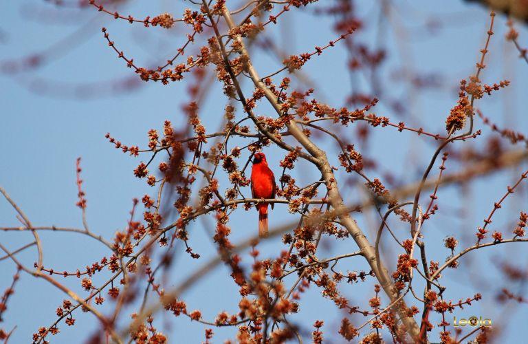 IMG_9808 Cardinal copy.jpg