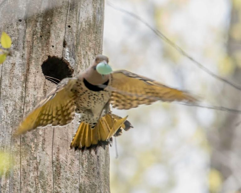 Flicker with Starling's egg