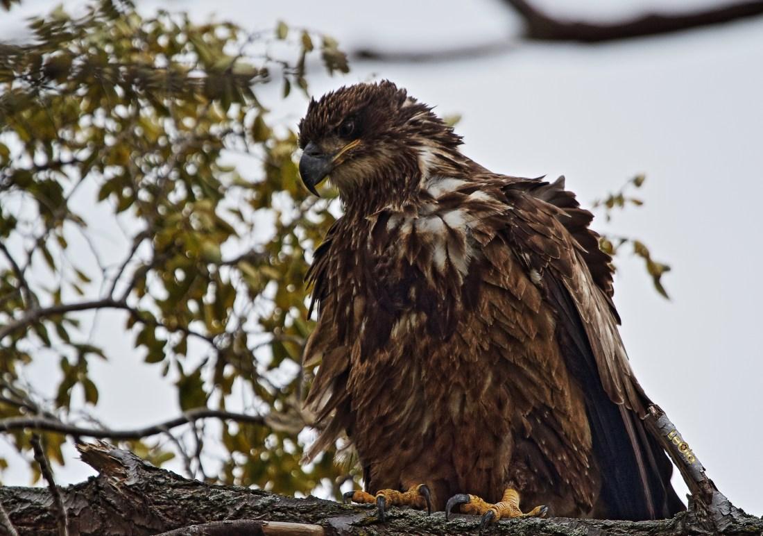 Eagle c.jpg