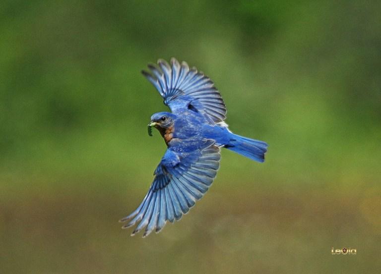 IMG_5693 Eastern Blue Bird copy