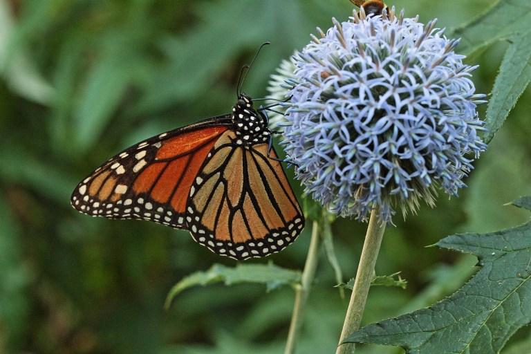 IMG_0504 Butterflyfin