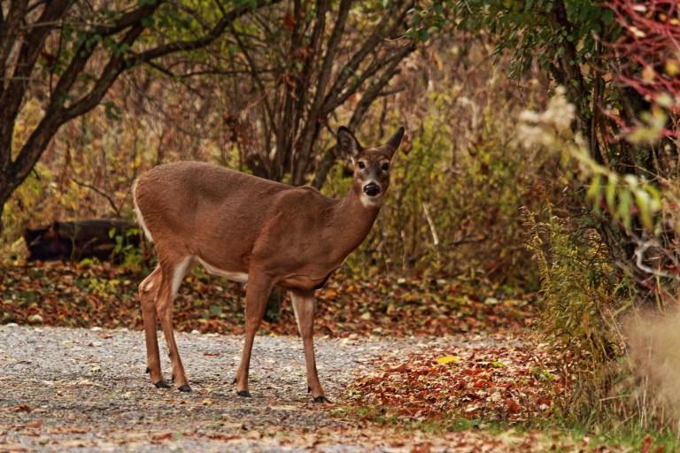 IMG_0015 Deer.JPG