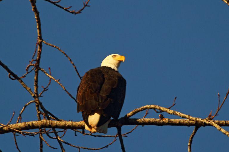IMG_0276 Eagle