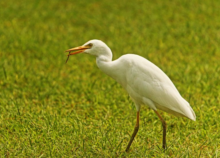 IMG_0531 Cattle egreta