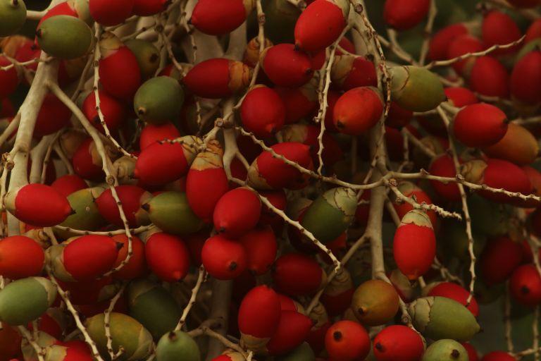 IMG_1363 Palm nut