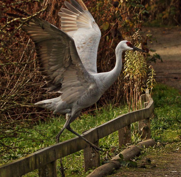 IMG_2051 Sandhill Crane