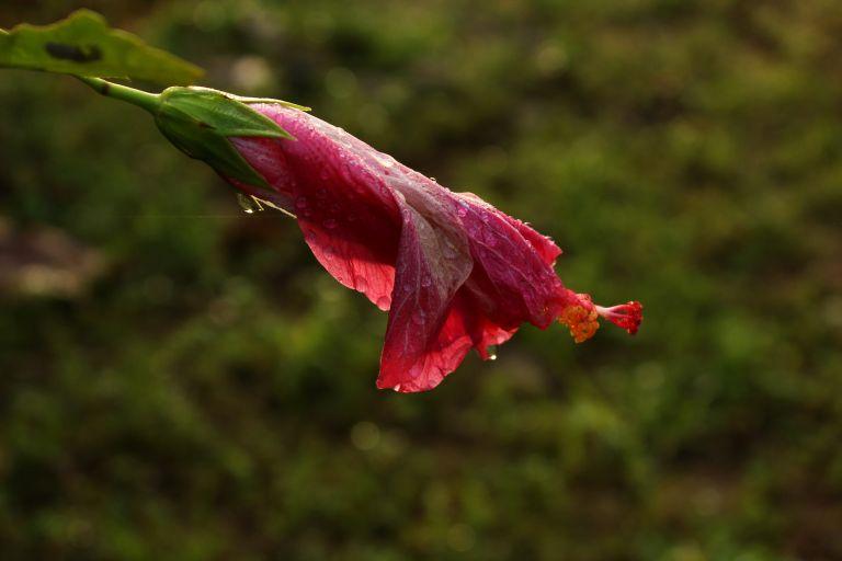 IMG_0867 Hibiscus