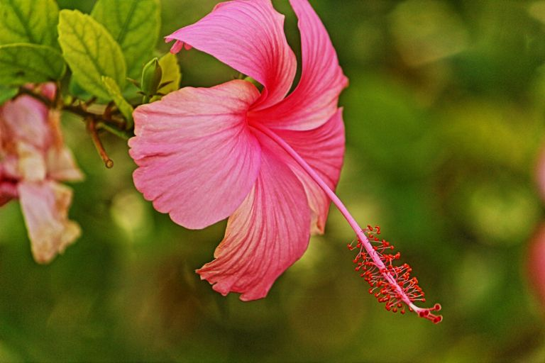 IMG_0954 Hibiscus in Jamaica