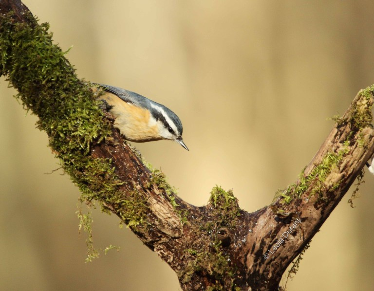 IMG_5448 Red Breast Nuthatch a copy