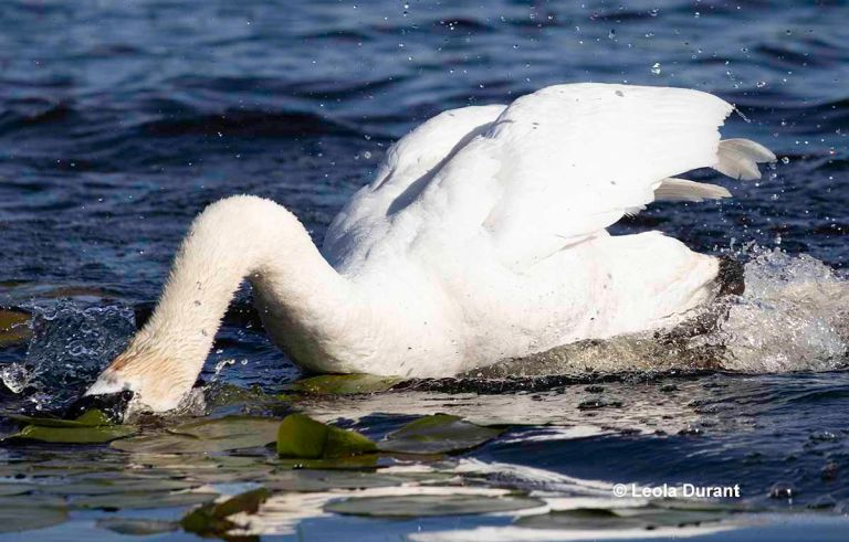 Nature like mankind has also been affected by sin and hate. In the photo, a mute swan holds the head of a gosling under water. The gosling would eventually die. This was done so the swan could protect its cygnets.