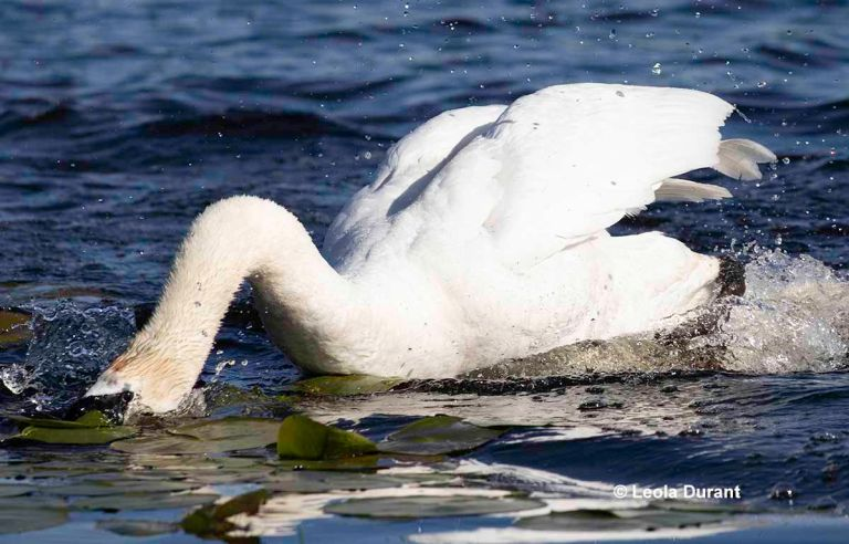 Fight Between Swan And Goose