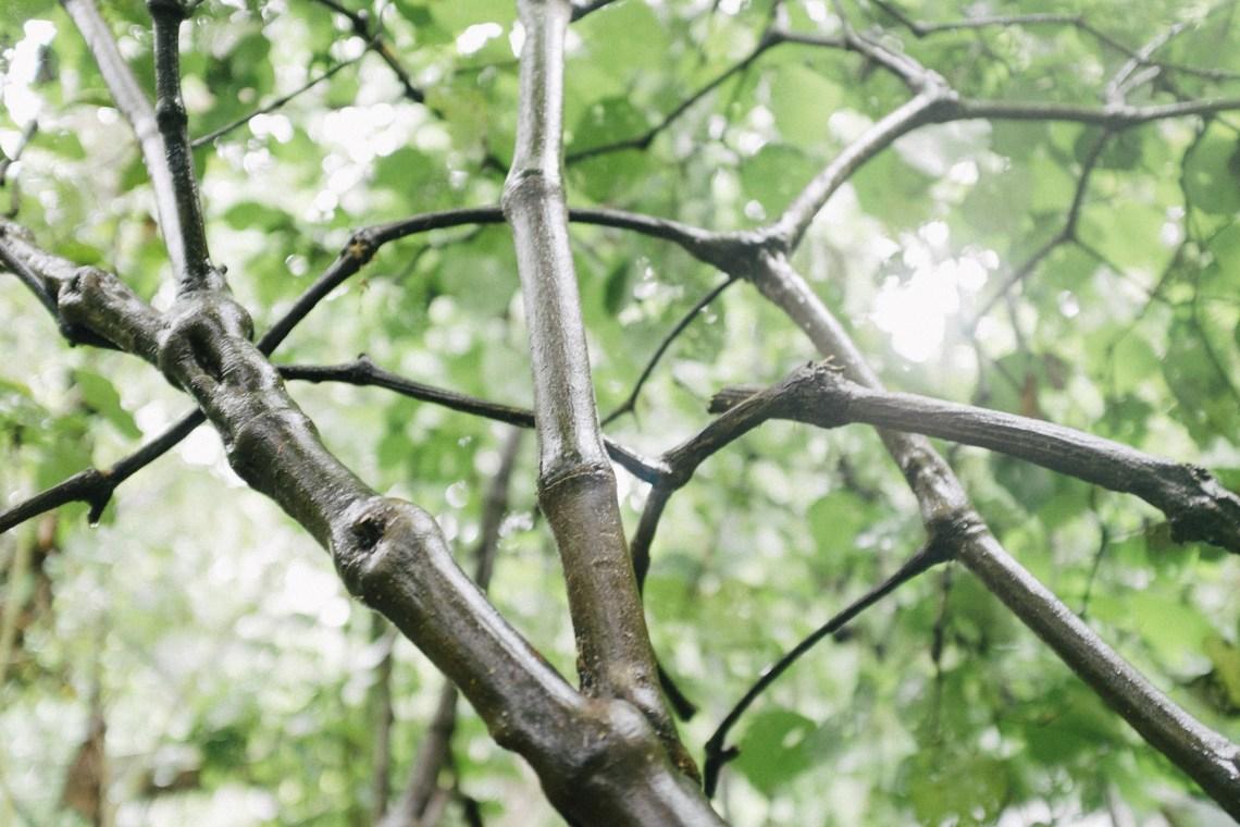 kawakawa tree. by leonie wise