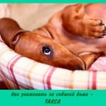 Как ухаживать за собакой дома — такса