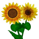 Sonnenblumen 1