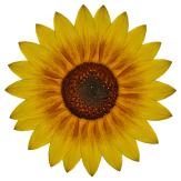 Sonnenblume 5