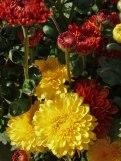 Chrysanthemen 10