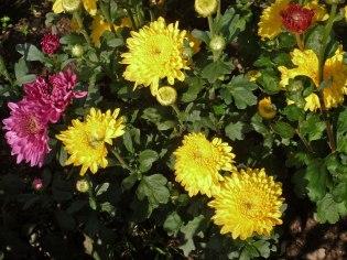 Chrysanthemen 13