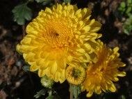 Chrysanthemen 16