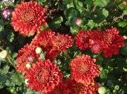 Chrysanthemen 4