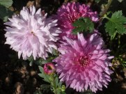 Chrysanthemen 6