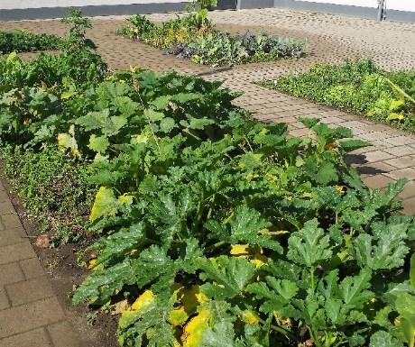 Erste Ernte im Schulgarten