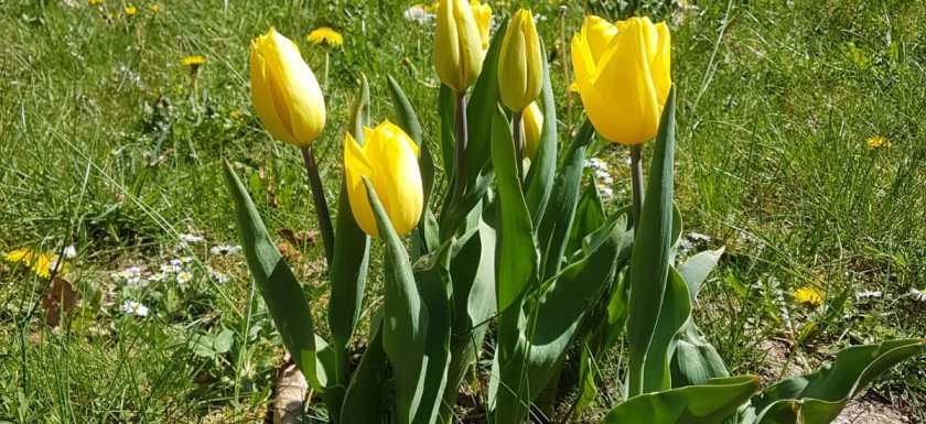 Tulpen für Brot