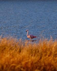 Flamingo, Los Juncos, Rio Negro, Argentina.