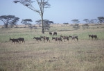 Serengeti Animals